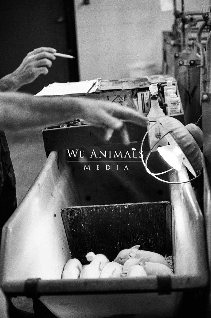 """""""Enviro Pigs"""" были выведены для выделения экологически чистых фекалий. Jo-Anne McArthur / We Animals Media."""