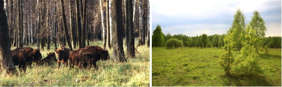 Слева – зубры в Приокско-Террасном заповеднике. Справа – луговая поляна в заповеднике «Калужские засеки»