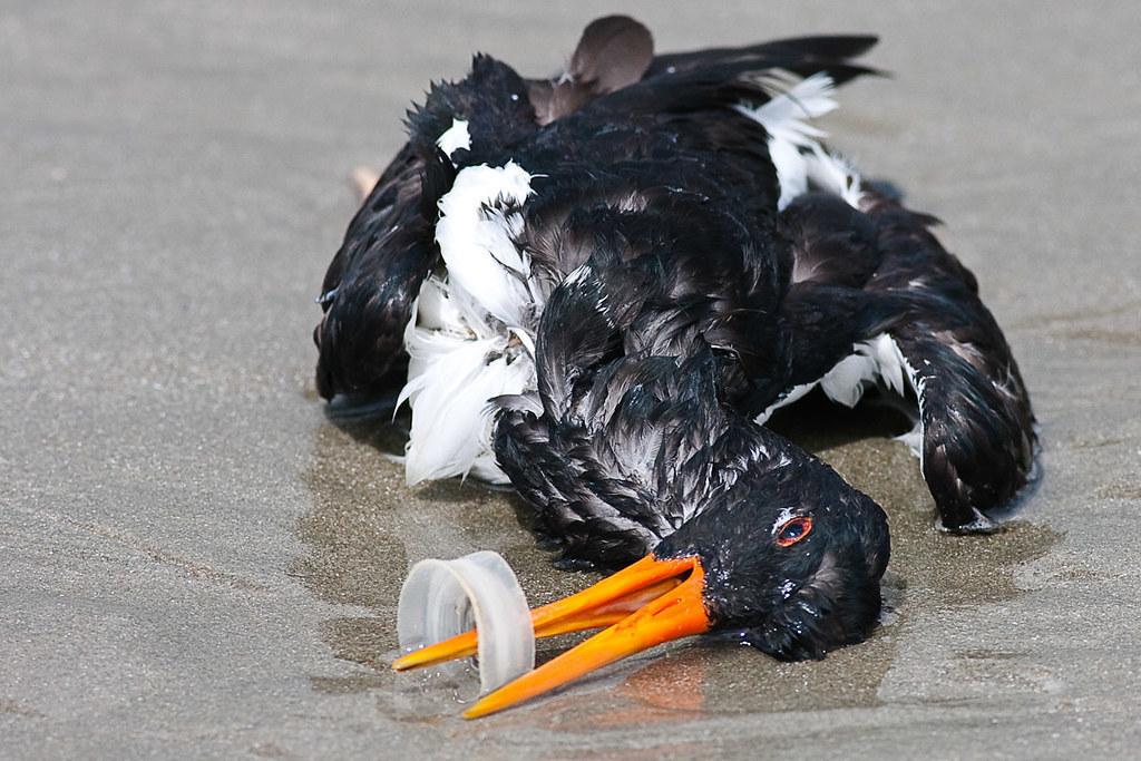 Птица вида кулик-сорока, занесённого в Красную книгу России как подвид, ставший редким из-за деятельности человека