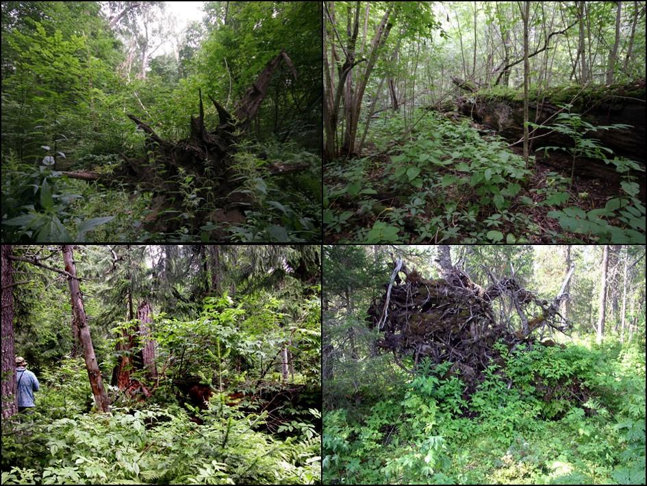 Окна и валежины в широколиственных (сверху) и таежных (снизу) лесах