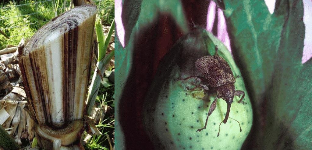 Слева: грибковое заболевание фузариоз, также известное как панамская болезнь, серьезно повлияло на выращивание бананов (С