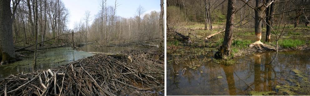 Слева: бобровые плотина и пруд. Справа: бобровая «лесосека». Заповедник «Калужские засеки»
