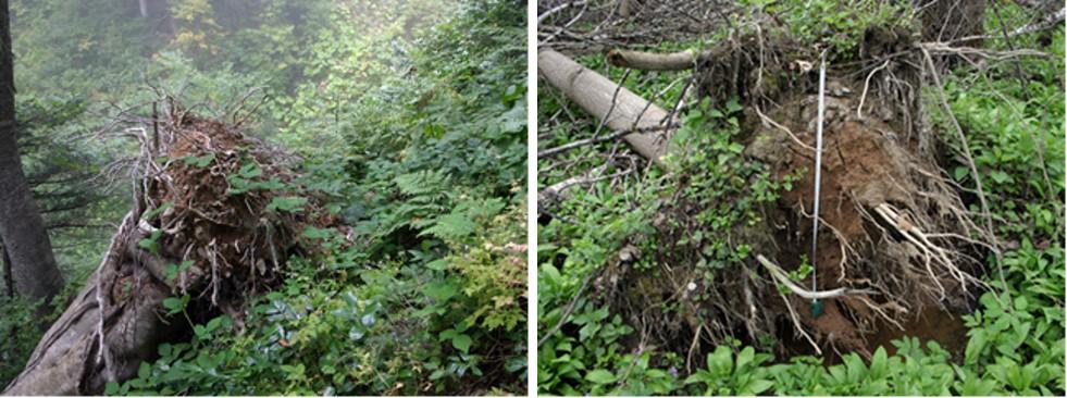 Слева: вывал бука восточного (<i>Fagus orientalis</i>) на склоне (Северо-Западный Кавказ). Справа: вывал ясеня обыкновенн