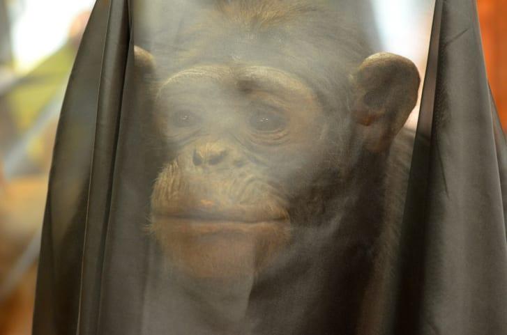 <b>Илл. 4.</b> Чучело шимпанзе под траурным саваном, Бристольский музей, 2019. Автор съемки: Фэй Кертис.