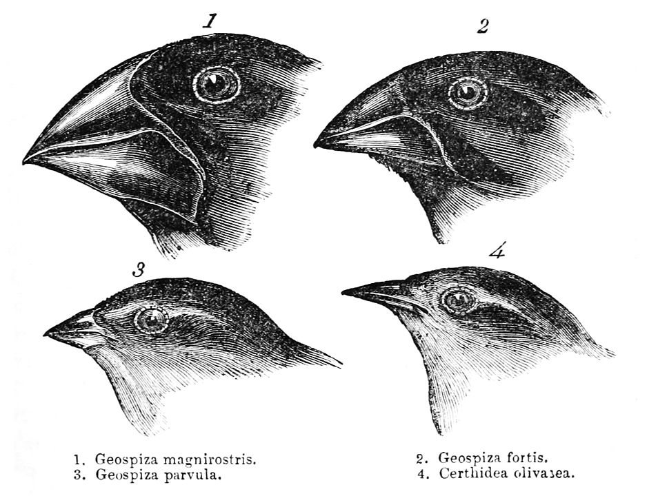 Галапагосские вьюрки, изучение которых подтолкнуло Дарвина в открытии теории эволюции