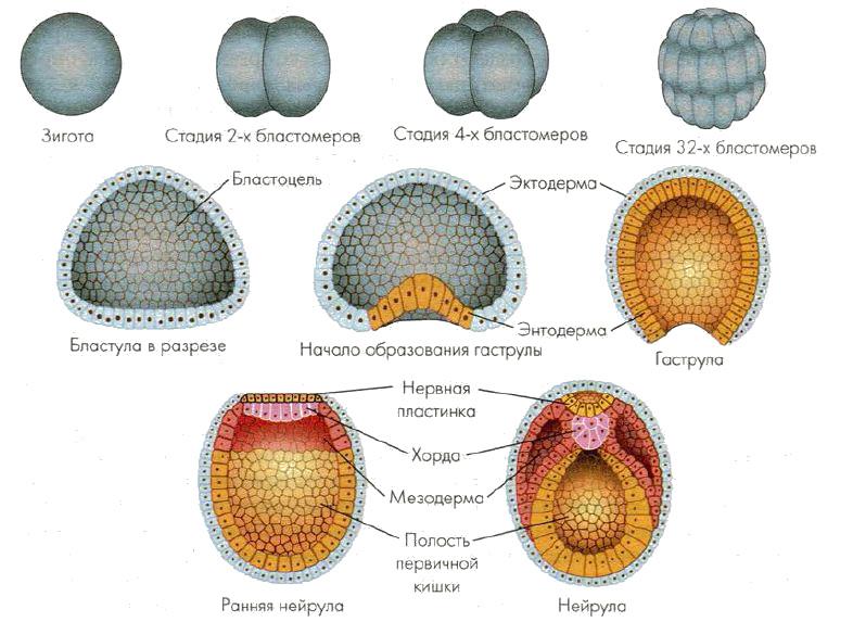 Эмбриогенез как пример складкообразования материальных поверхностей