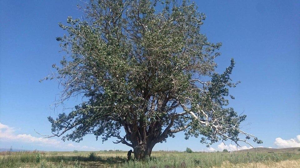 Священное дерево Жалгыз Терек, Иссык-Кульская область. Архив Н. П.